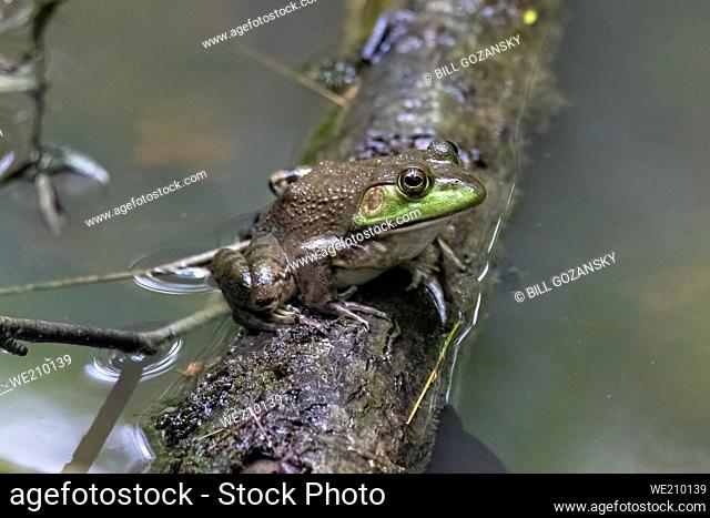 Female American bullfrog (Lithobates catesbeianus) - Pisgah National Forest, Brevard, North Carolina, USA