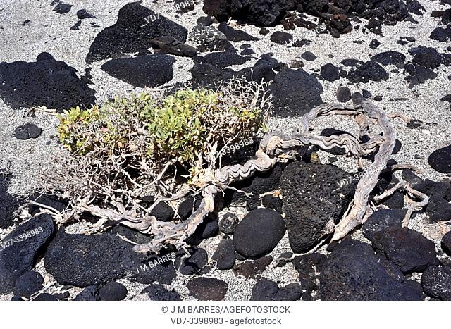 Atriplex glauca is a subshrub native to arid zones of the Mediterranean Basin and Canary Islands. This photo was taken in Lanzarote Island, Canary Islands