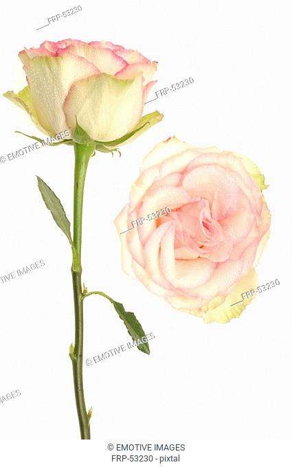 Pink rose and pink rose blossom