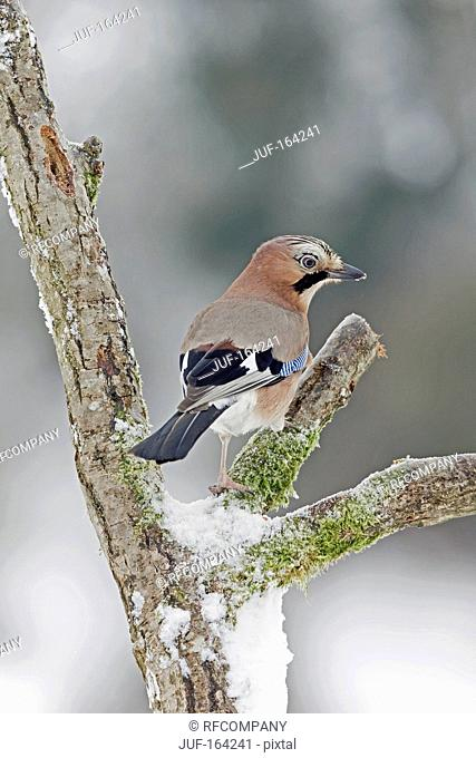 Eurasian Jay on branch / Garrulus glandarius