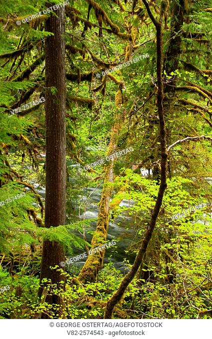 McKenzie Wild and Scenic River in forest along McKenzie River National Recreation Trail, Willamette National Forest, Oregon