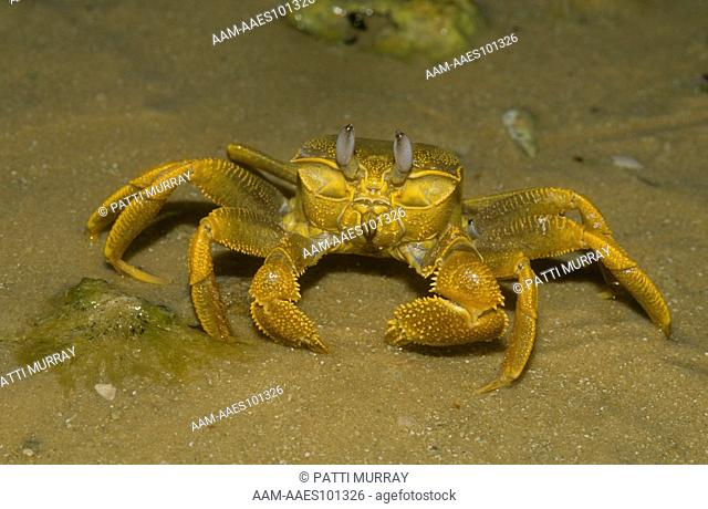 Golden Ghost Crab (Ocypode convexa), Shark Bay, W. Australia