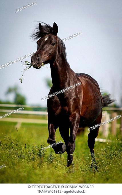 trotting German Riding Pony