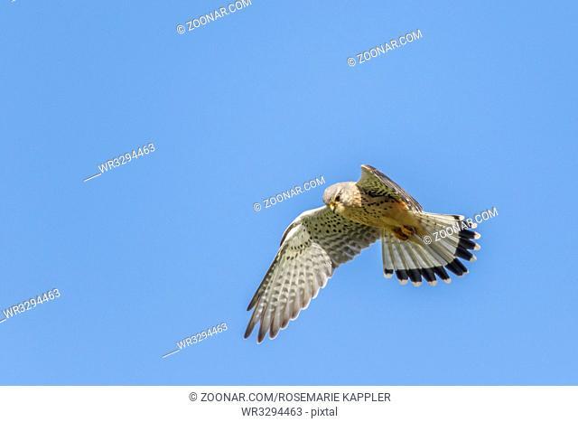 Ein Turmfalke hält Ausschau nach Beute - Common krestel in flight
