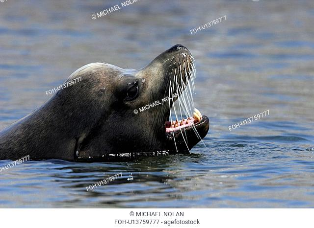 California Sea Lion bull Zalophus californianus swimming note the large sagital crest on the skull, indicative of mature males in the midriff islands of the...