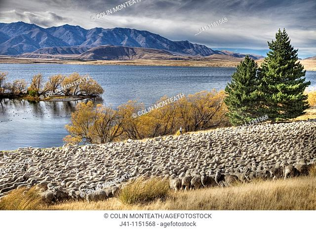 Merino sheep flock being moved by shepherd and dogs, Arrowsmith Station, autumn, Lake Heron, Canterbury