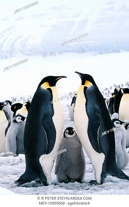 Emperor Penguin - with chick (Aptenodytes forsteri)