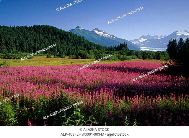 Fireweed in Bloom near Mendenhall Glacier SE AK Summer