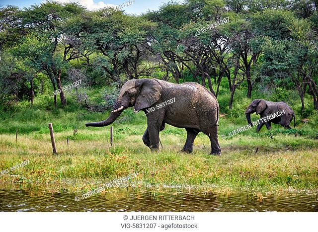 African bush elephant, Boteti River, Makgadikgadi-Pans-National Park, Botswana, Africa - Botswana, 16/02/2017