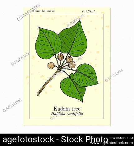 Kadam tree, or burflower-tree, laran, leichhardt pine neolamarckia cadamba, medicinal plant. Hand drawn botanical vector illustration