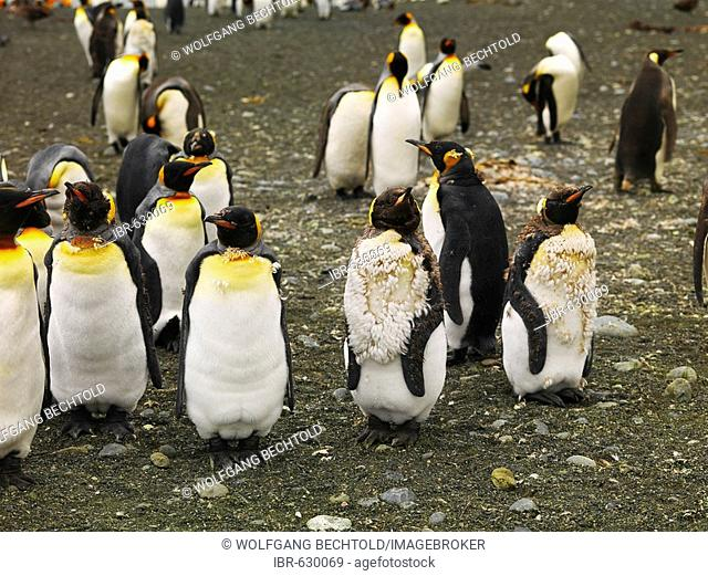 A group of King Penguins (Aptenodytes patagonicus), Macquarie Island, Australia, Antarctic
