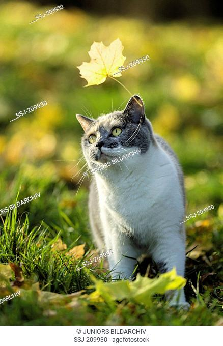 British Shorthair Cat. Tricolored adult watching a leaf flying by. Germany