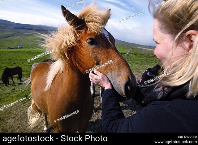 Two Icelandic horses (Equus ferus caballus), Vatnsnes, North Iceland, Iceland, Europe