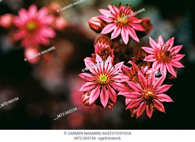 Flowers (Sempervivum arachnoideum tomentosum)