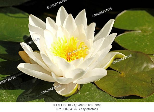 Waterlily Nymphaea alba