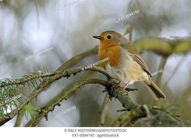 Beautiful Robin Redbreast ( Erithacus rubecula ) perched in a conifer, in natural surrounding, wildlife, Europe