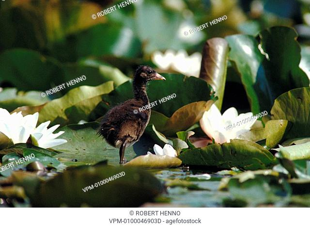 GALLINULA CHLOROPUS - FULICA CHLOROPUSMOORHEN - COMMON MOORHEN - COMMON GALLINULECHICK WALKING ON WATER LILIES