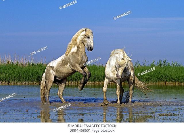France, Bouches du Rhone, Natural Regional Park of Camargue , Saintes Maries de la Mer, Camargue horse
