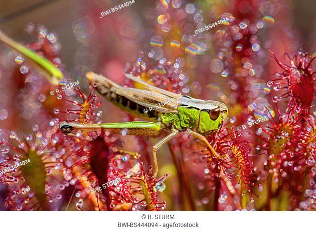 Lesser marsh grasshopper (Chorthippus albomarginatus, Chorthippus elegans), being glued to the oblong-leaved sundew, side view, Austria, Tyrol