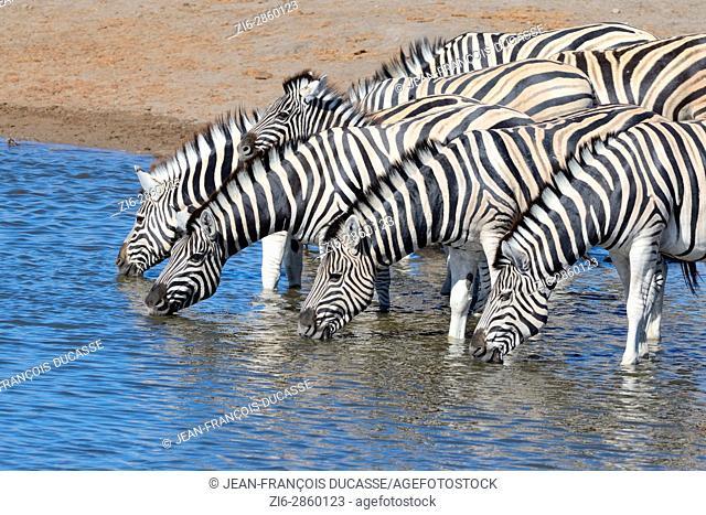 Herd of Burchell's zebras (Equus quagga burchellii) with zebra foal drinking at waterhole, Etosha National Park, Namibia, Africa