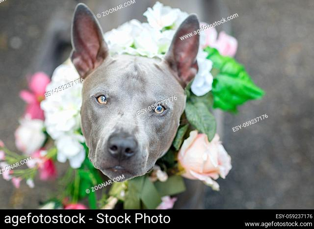 beautiful young thai ridgeback dog in flower wreath on head. summer season. outdoor shot. natural light. copy space