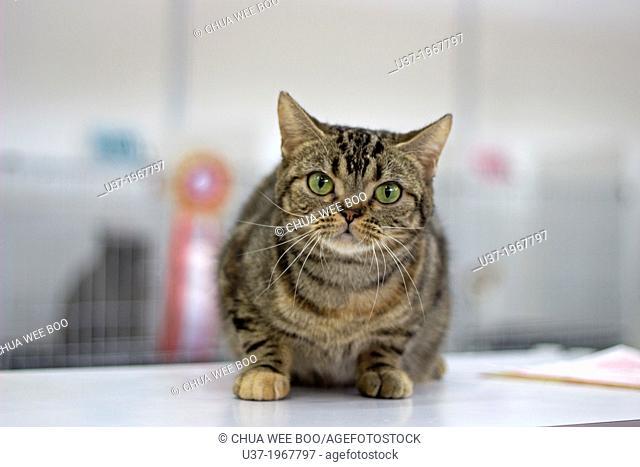 North American Brown Swirled Tabby Cat
