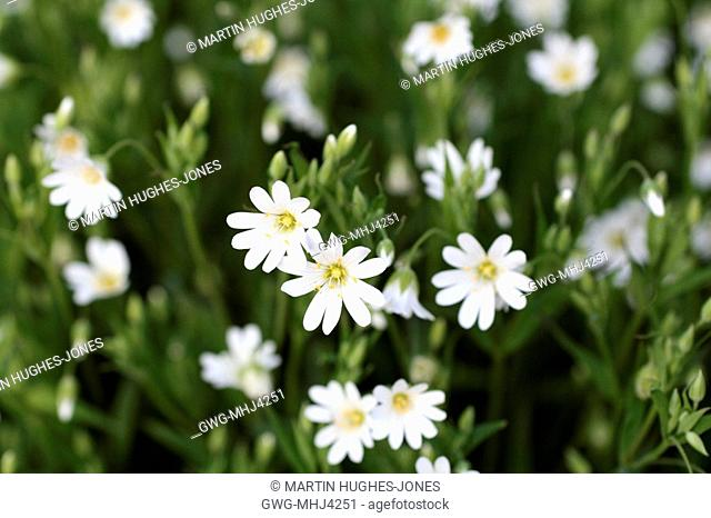GREATER STITCHWORT STELLARIA HOLOSTEA LATE APRIL