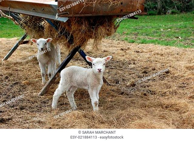 Two cute lambs standing by a feeder full of hay