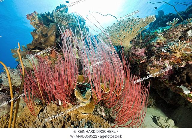 Reef with Whip Corals, Ellisella ceratophyta, Junceella fragilis, Ulong Channel, Micronesia, Palau