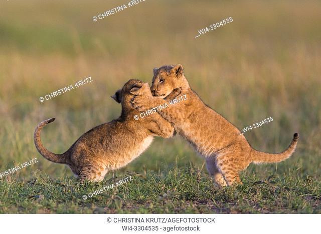African Lion cubs, Masai Mara National Reserve, Kenya, East Africa