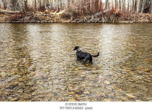 Labrador Retriever in stream
