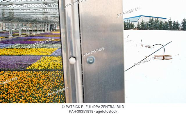 A greenhouse full of blooming pansies of the Fontana horticulture GmbH is seen next to a snow-covered field in Manschnow, Germany, 22 March 2013