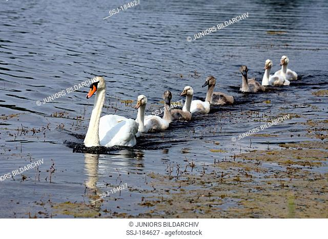 Mute Swan (Cygnus olor). Adult and cygnets swimming on an oxbow lake. Germany