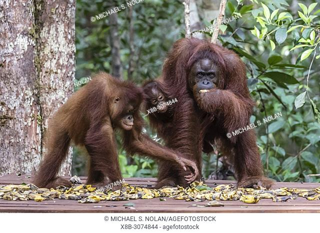 Bornean orangutans, Pongo pygmaeus, at Camp Leakey feeding platform, Borneo, Indonesia