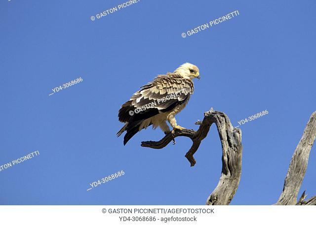 Tawny Eagle (Aquila Rapax), Kalahari desert, Kgalagadi Transfrontier Park, South Africa.