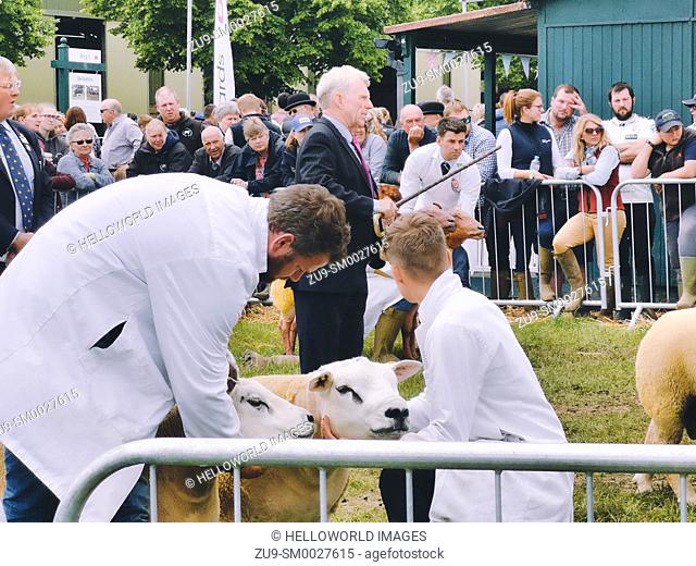 Beltex sheep, judge and handlers, Three Counties Show 2019, Malvern, Worcestershire, England. Beltex is a breed of domestic sheep