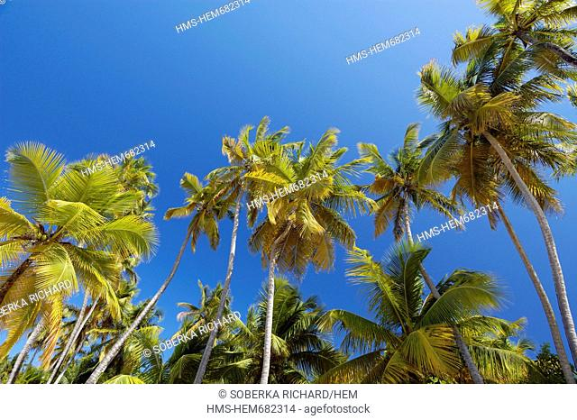France, Martinique French West Indies, Sainte Anne, Anse des Salines, coconuts from the Salines beach in Low angle shot