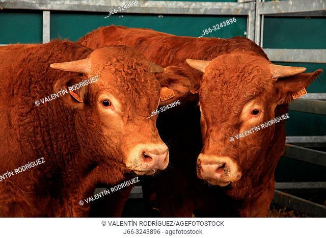 Livestock fair in Villoslada de Cameros. La Rioja