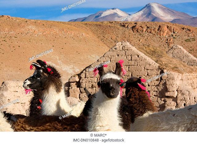 Bolivia, Potosi, llamas