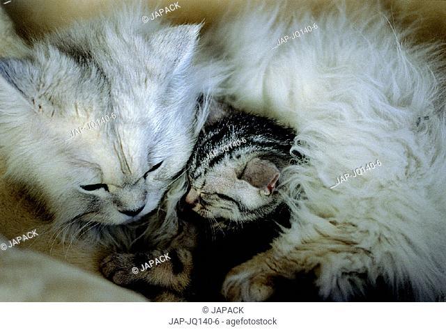 Chinchilla cat and American Shorthair kitten