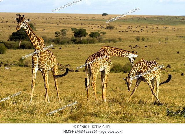 Kenya, Masai Mara national reserve, Girafe masai (Giraffa camelopardalis), drinking