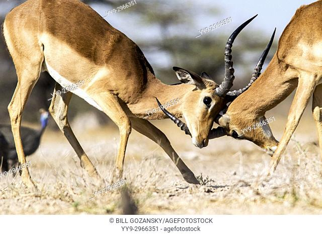 Male Impalas sparing at Onkolo Hide, Onguma Game Reserve, Namibia, Africa