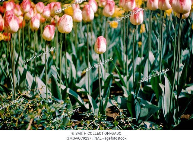 Duth tulips in Keukenhof park, Lisse, Netherlands, 1952