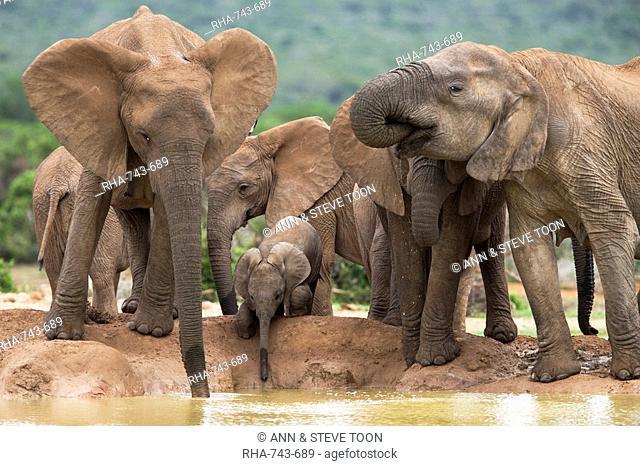 Elephant breeding herd Loxodonta africana, Addo Elephant National Park, Eastern Cape, South Africa, Africa