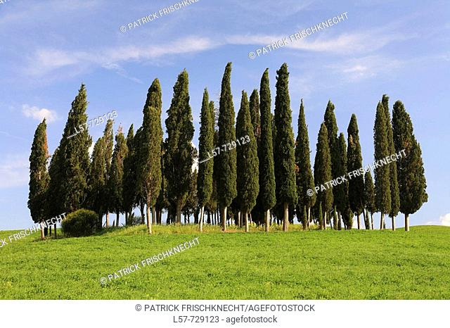 Cypress, Italian Cypress, Cupressus sempervirens, hill countryside, agricultural landscape, Tuscany, Italy