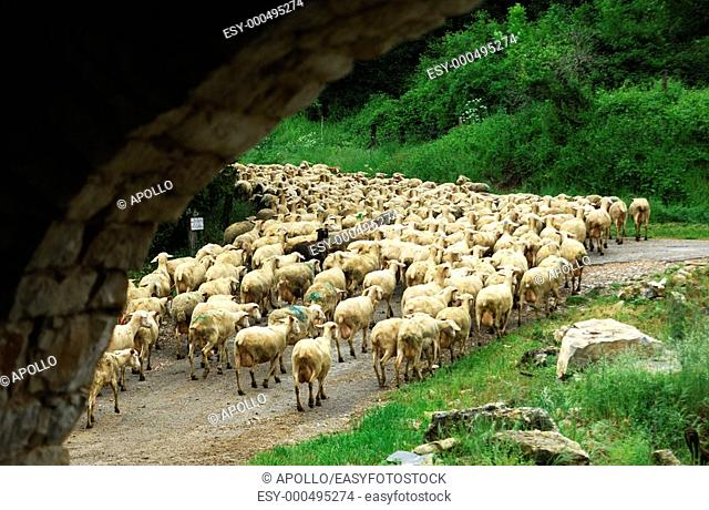A flock of sheep on its way to the pasture