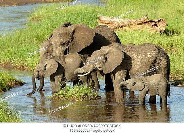 African elephants drinking water in the morning. Loxodonta africana. Tarangire, Tanzania
