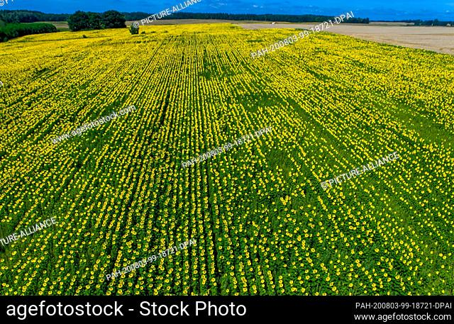 31 July 2020, Mecklenburg-Western Pomerania, Finkenthal: Sunflowers are blooming on one of the fields of the Fürstenhof producer association (aerial photograph...