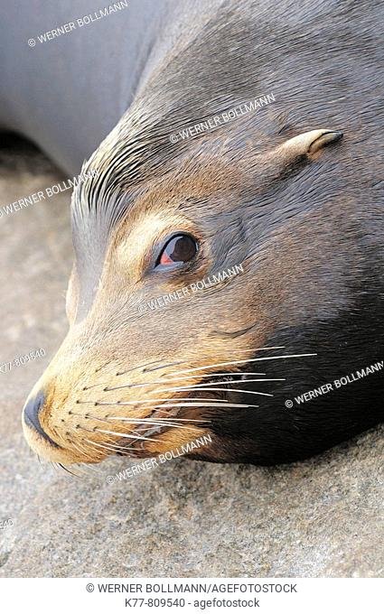 Californian Sealion (Zalophus californianus), Male. Monterey, California, USA