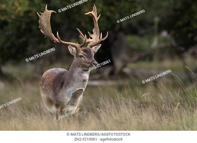 Fallow deer, buck, standing looking in to the camera, Jaegersbors dyrehaven, Denmark